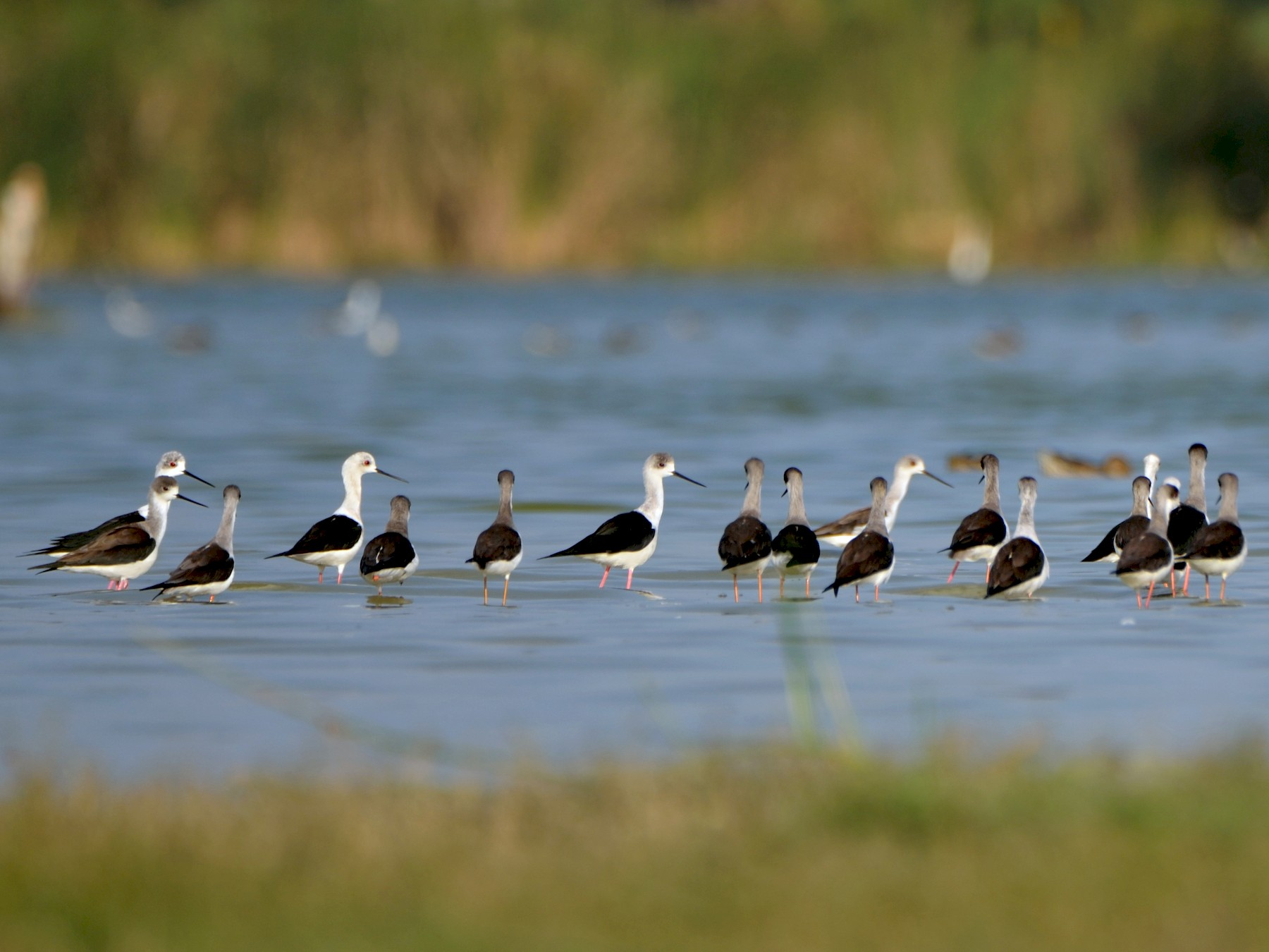 Black-winged Stilt - Bhaskar pandeti