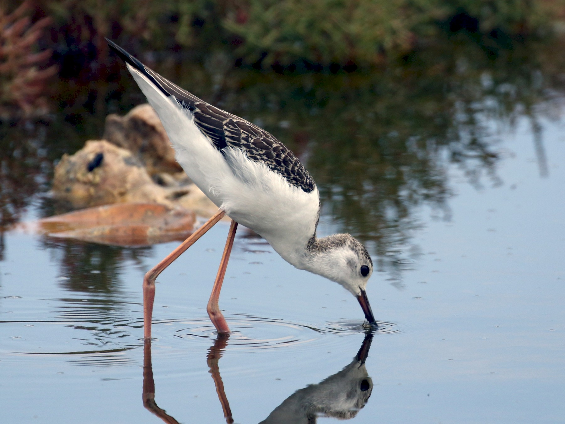 Black-winged Stilt - James Rieman