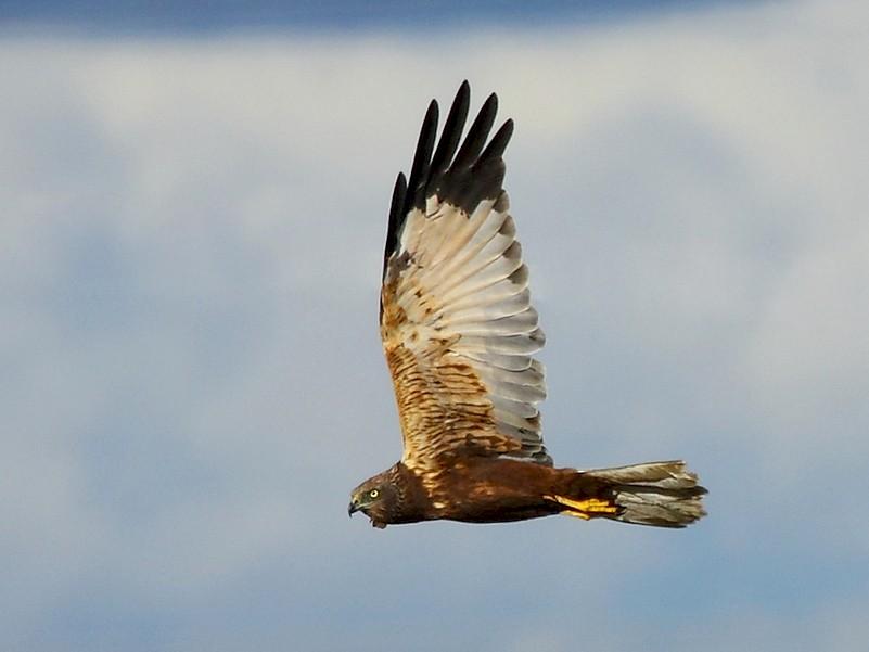 Eurasian Marsh-Harrier - António Gonçalves