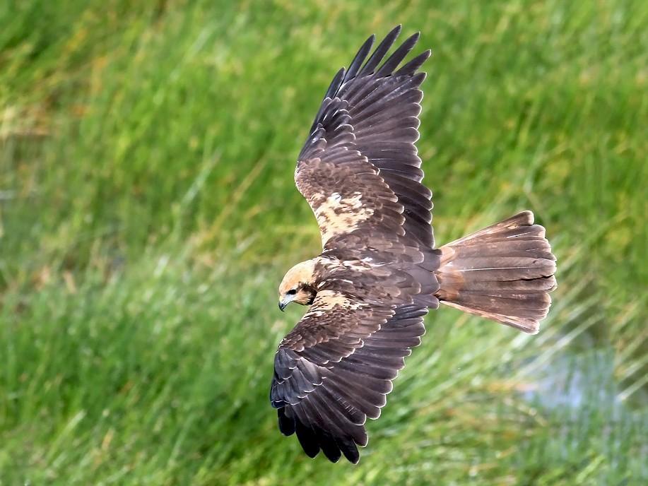 Eurasian Marsh-Harrier - Adrien Mauss