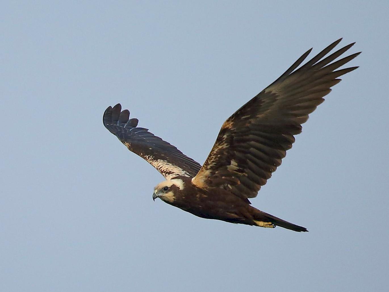 Eurasian Marsh-Harrier - Albin Jacob