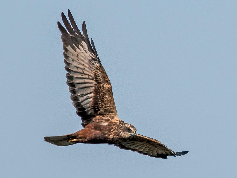 Eurasian Marsh-Harrier - Paulo Doutel