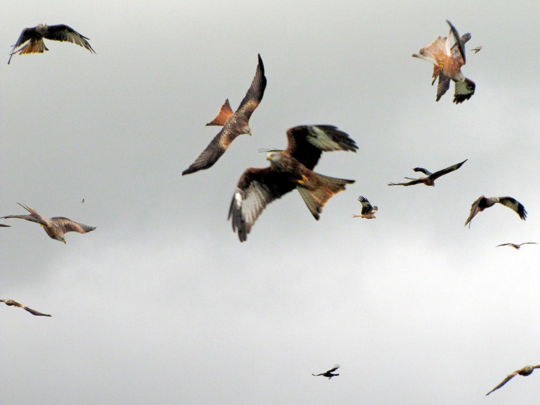 Red Kite - Pat McKay