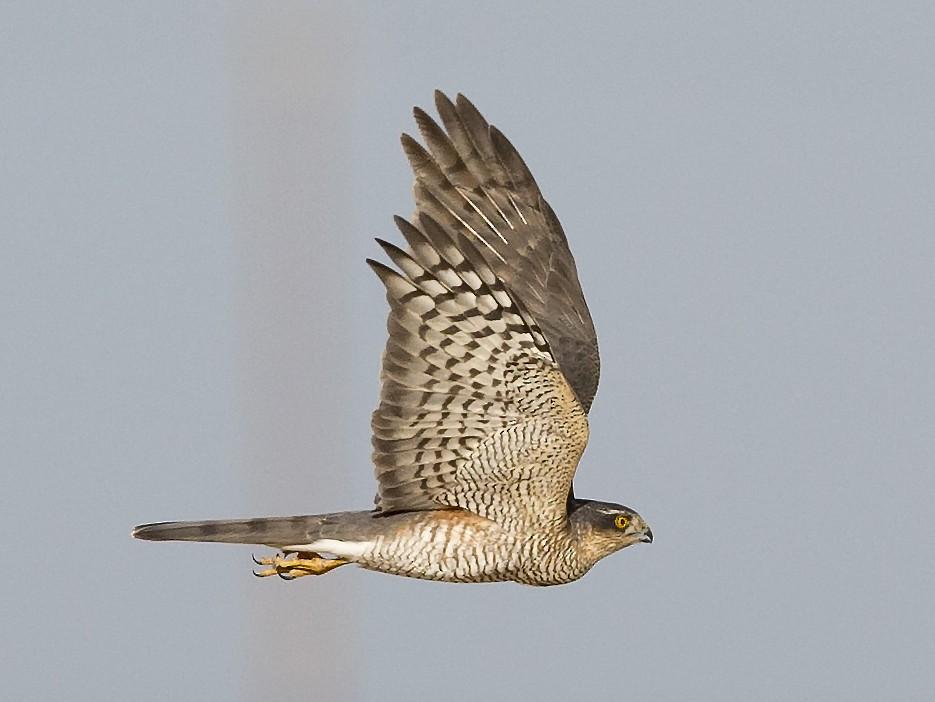 Eurasian Sparrowhawk - Omar alshaheen