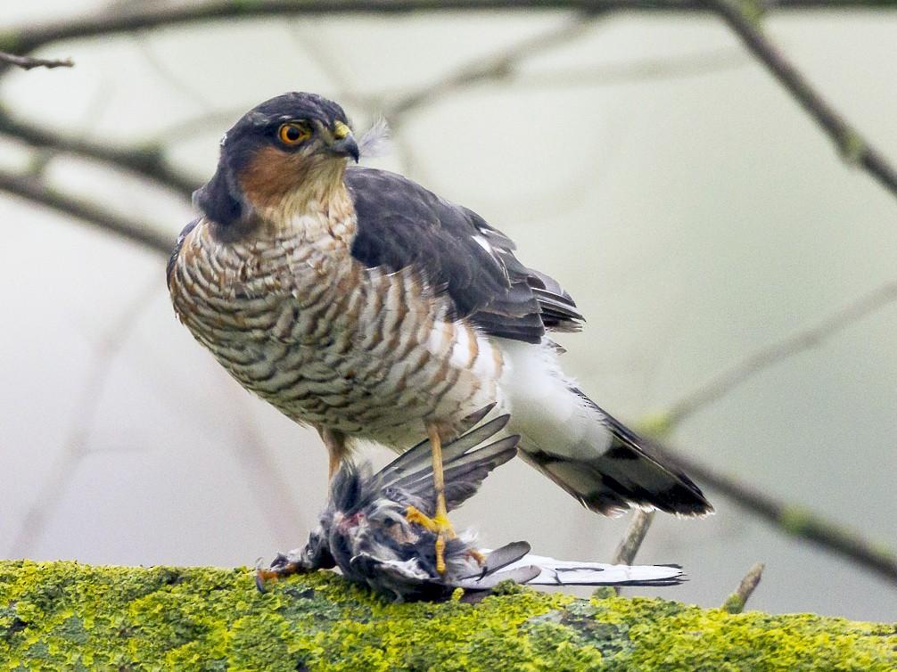 Eurasian Sparrowhawk - Ricardo Rodríguez