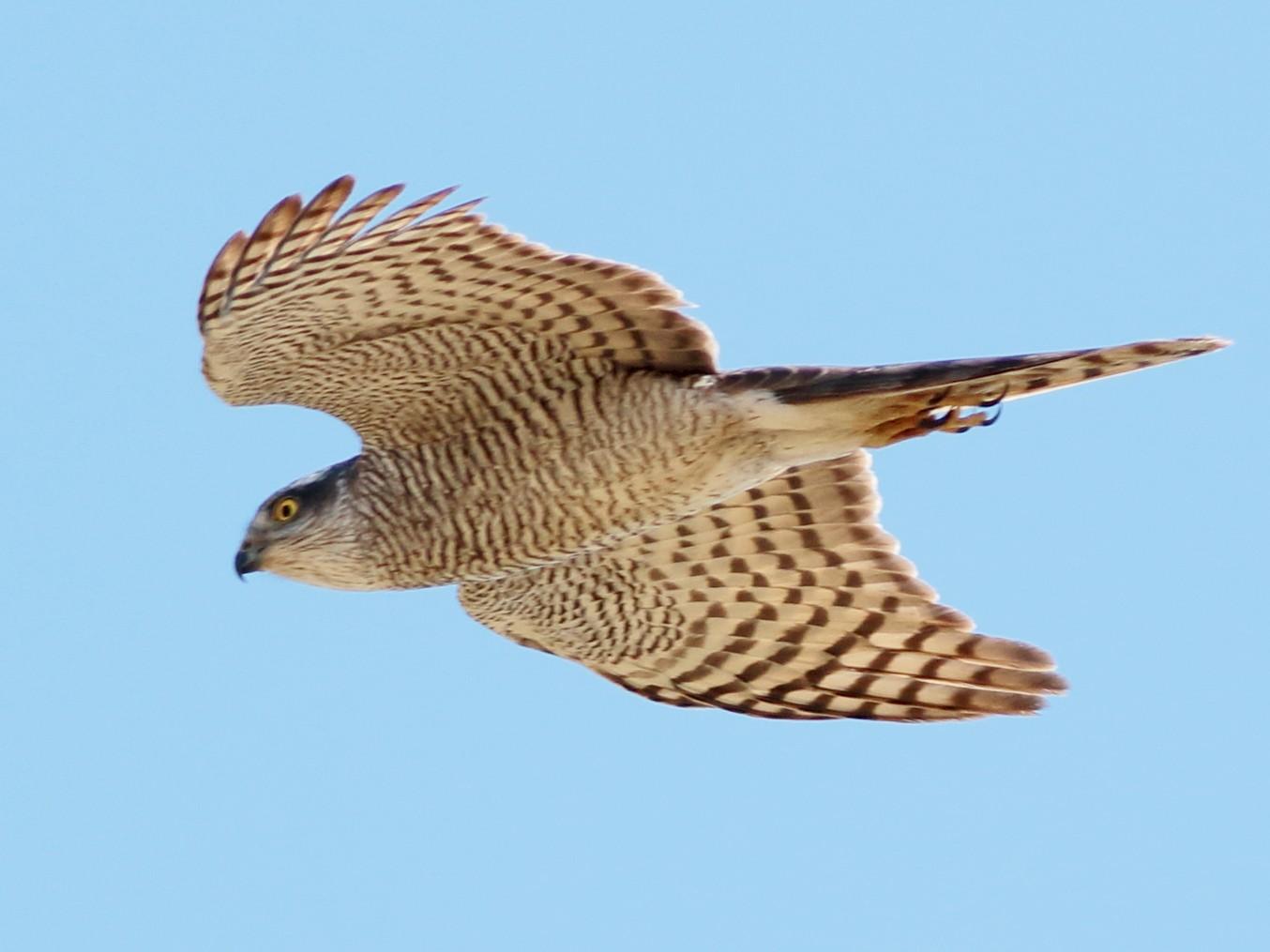 Eurasian Sparrowhawk - Sérgio Correia