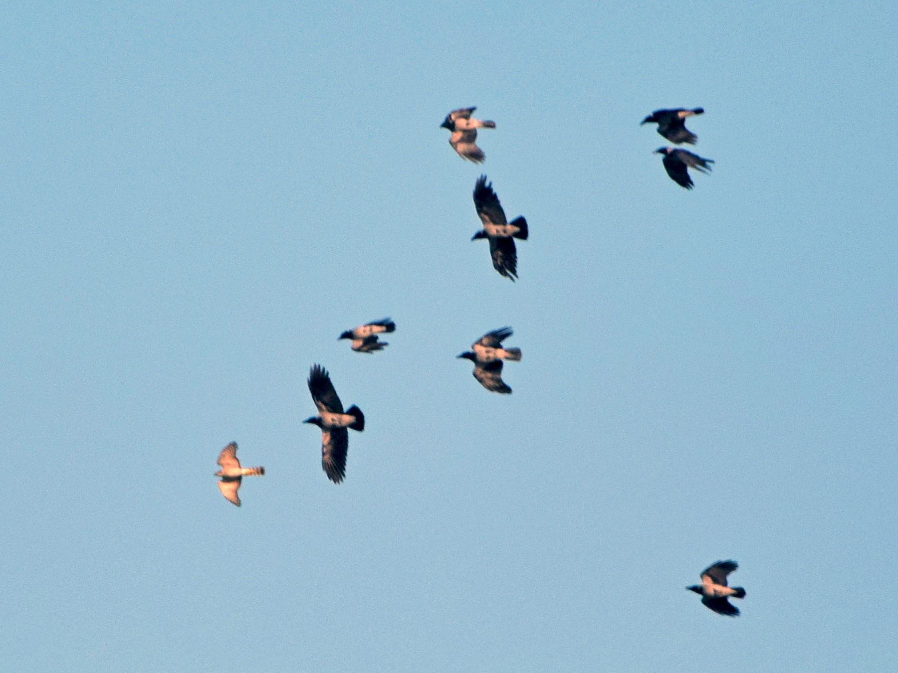 Eurasian Sparrowhawk - Aleksandar Urošević