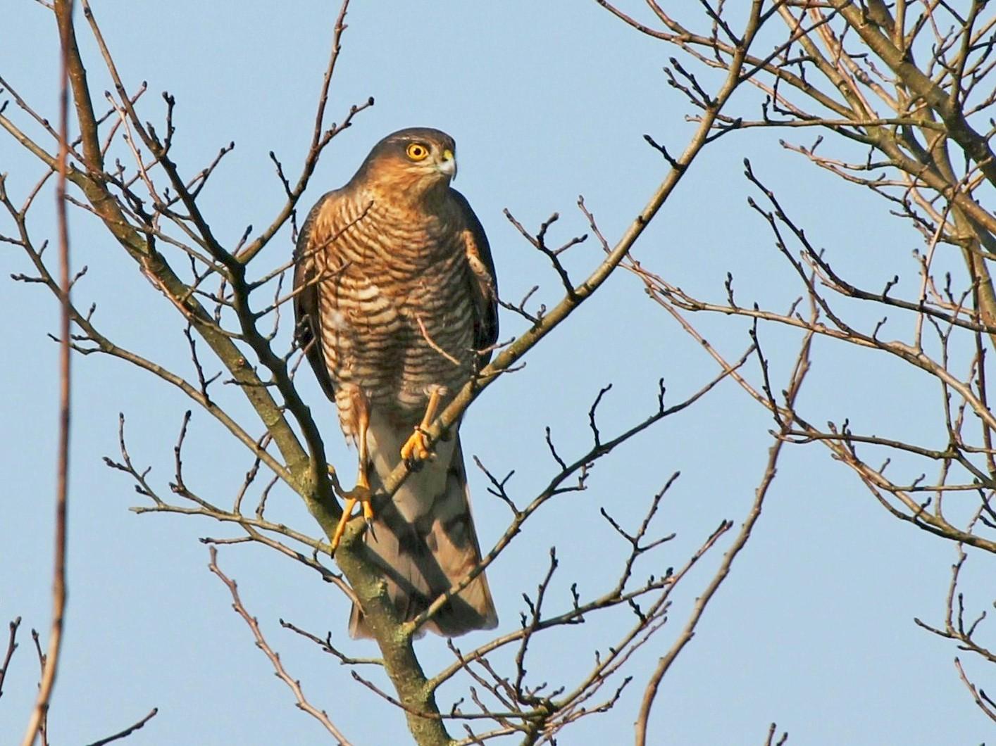 Eurasian Sparrowhawk - Paul Chapman