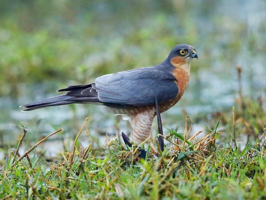 Eurasian Sparrowhawk - Albin Jacob