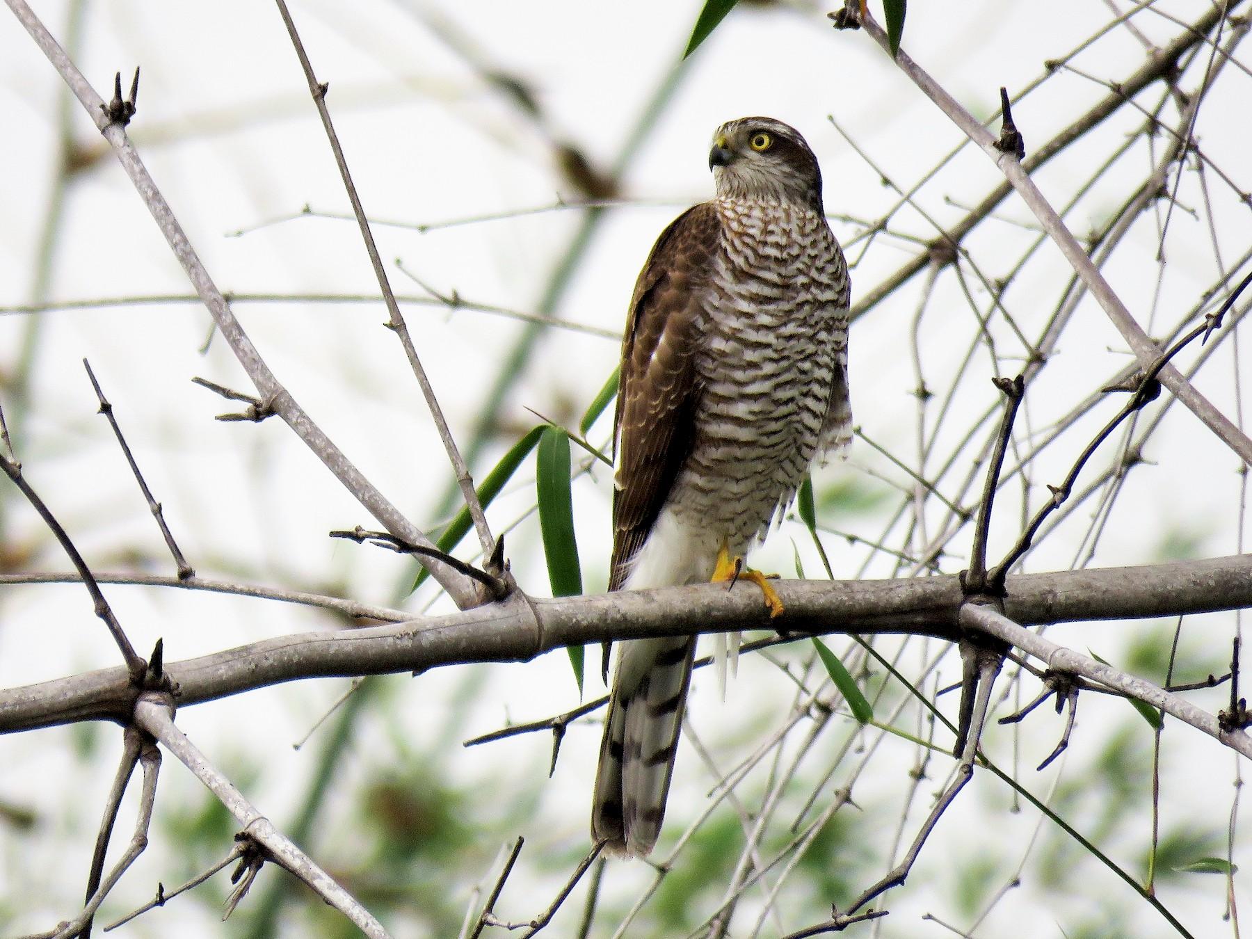 Eurasian Sparrowhawk - Surendhar Boobalan