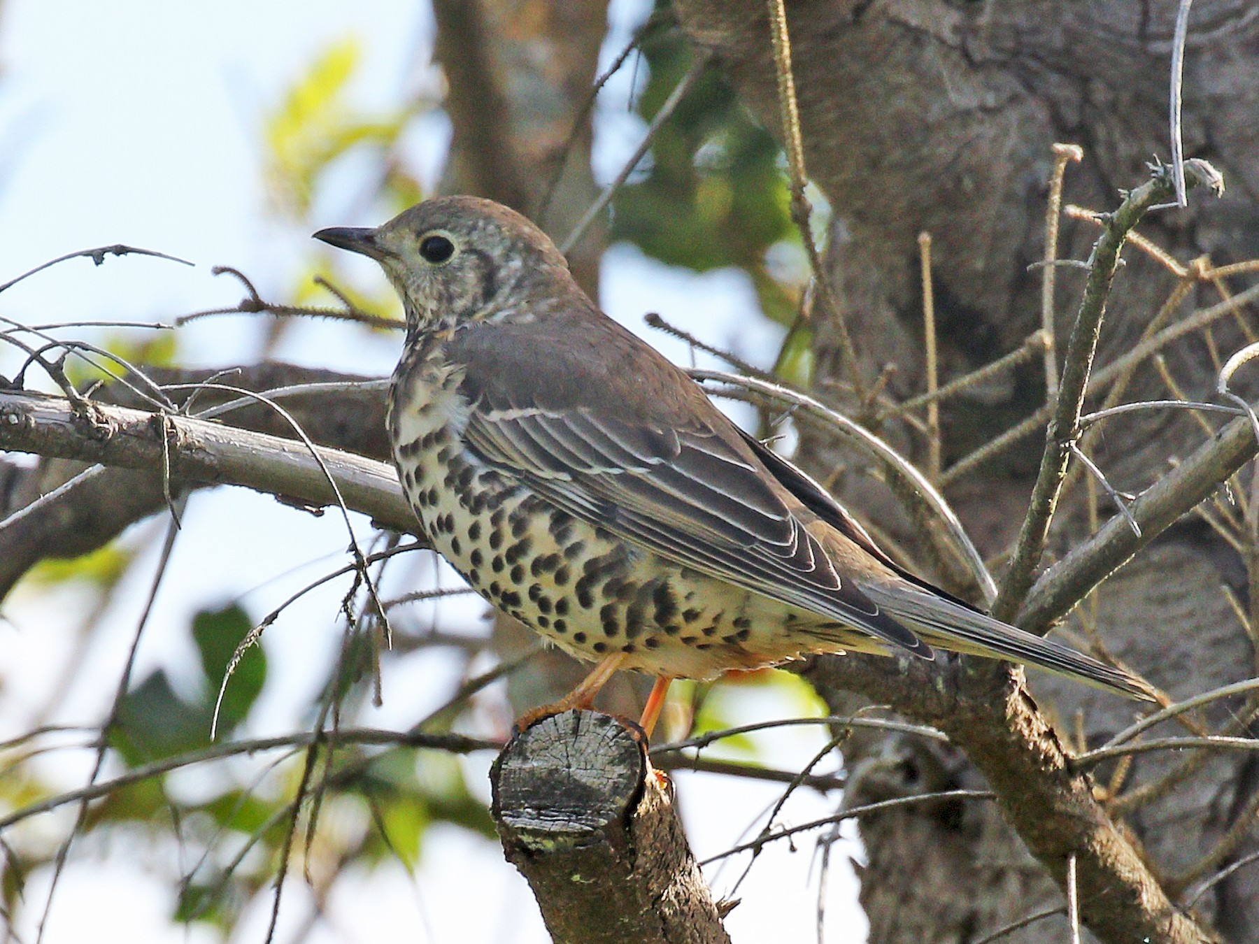 Mistle Thrush - Ryan Schain