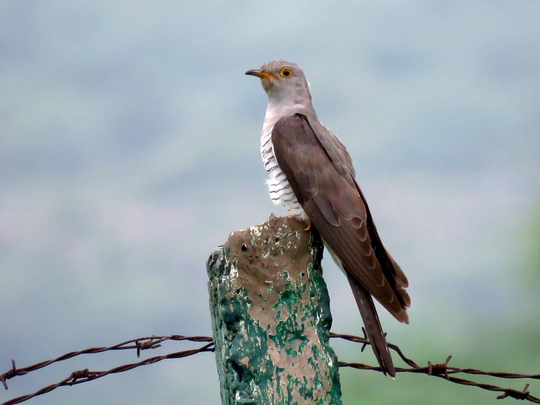 Common Cuckoo - Ritvik Singh