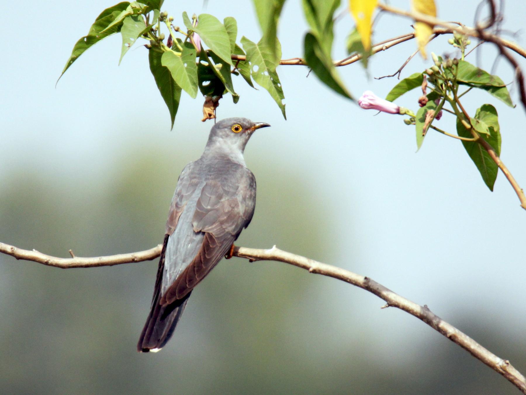 Common Cuckoo - Dinesh kumar