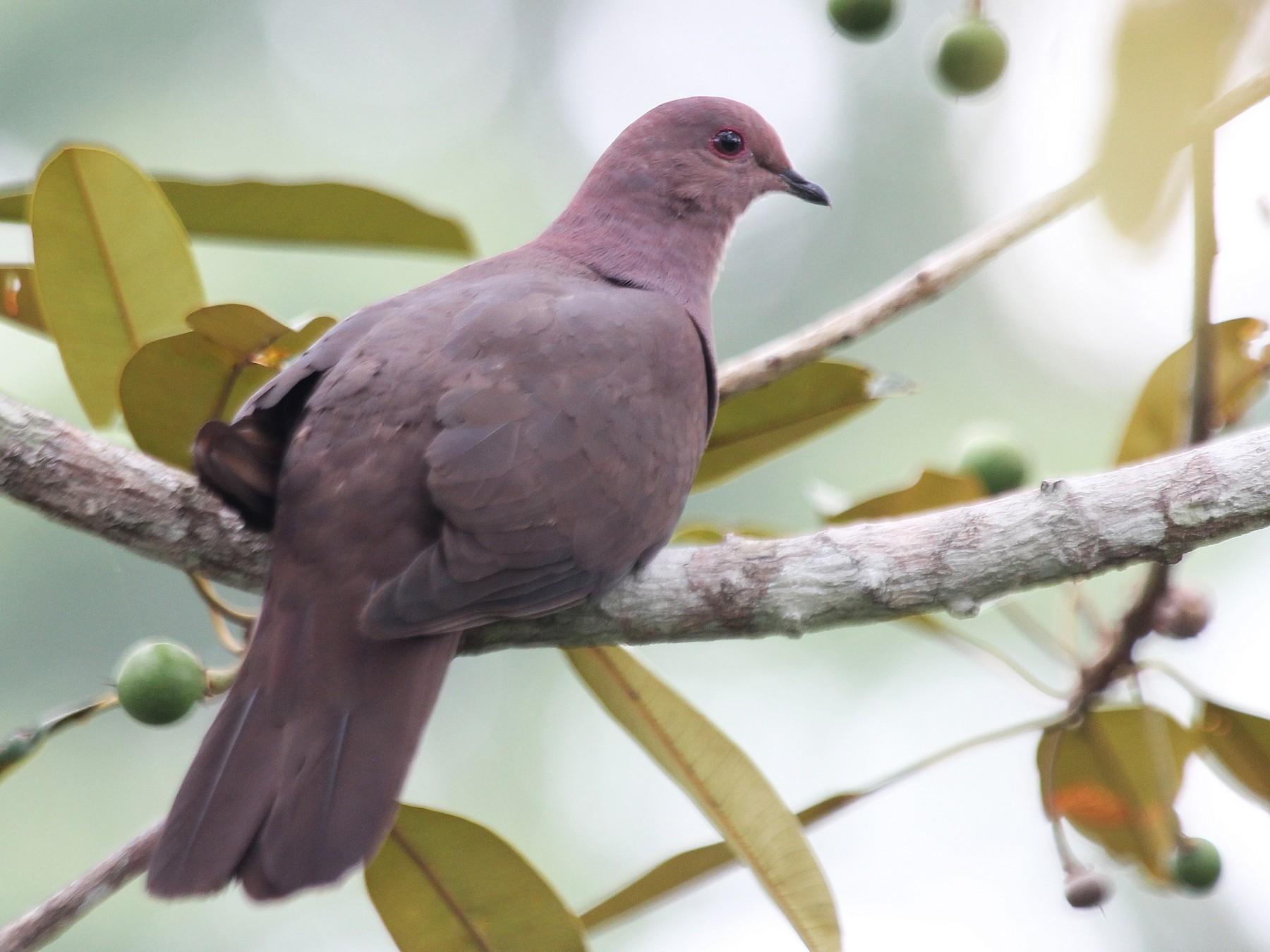 Ruddy Pigeon - Alexander Lees