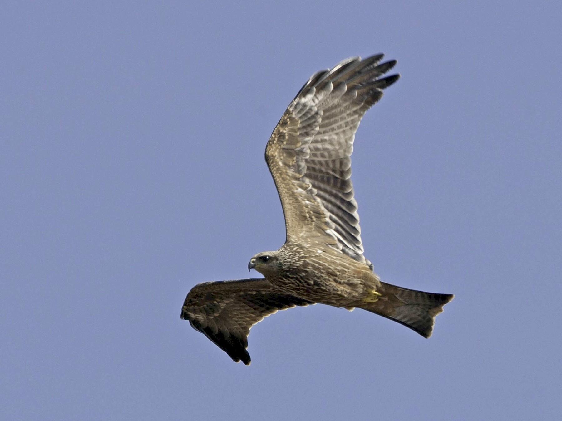 Black Kite - Richard Dunn