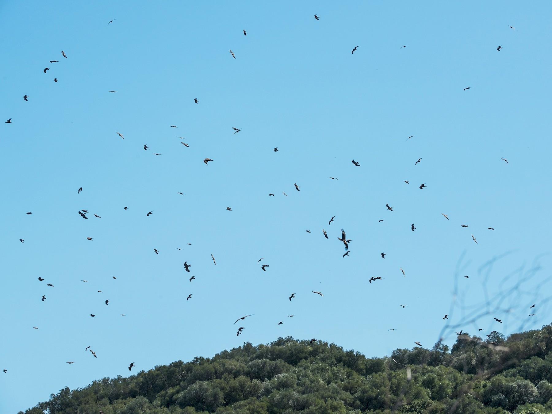 Black Kite - Pedro Jordano
