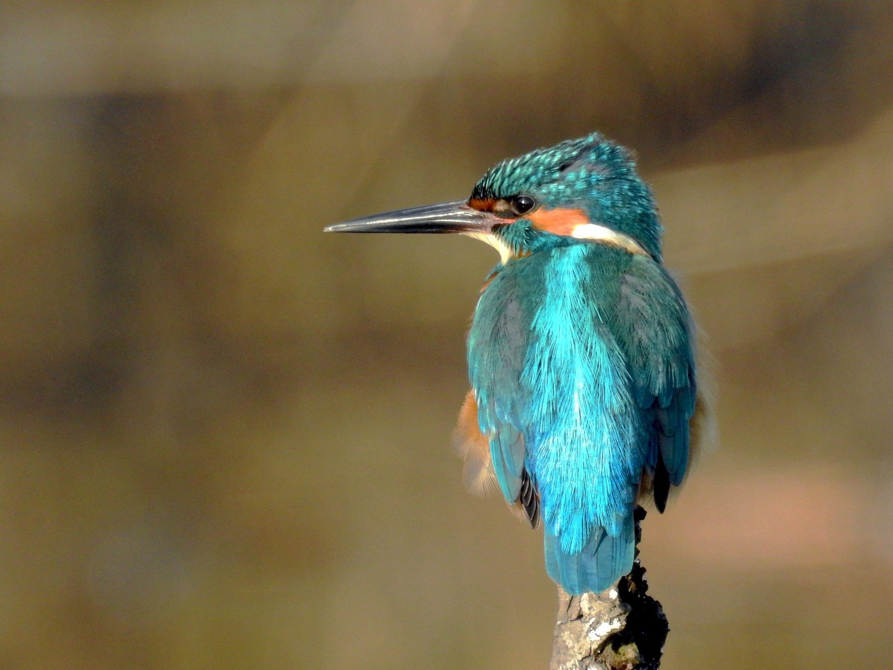 Common Kingfisher - Daniel Raposo