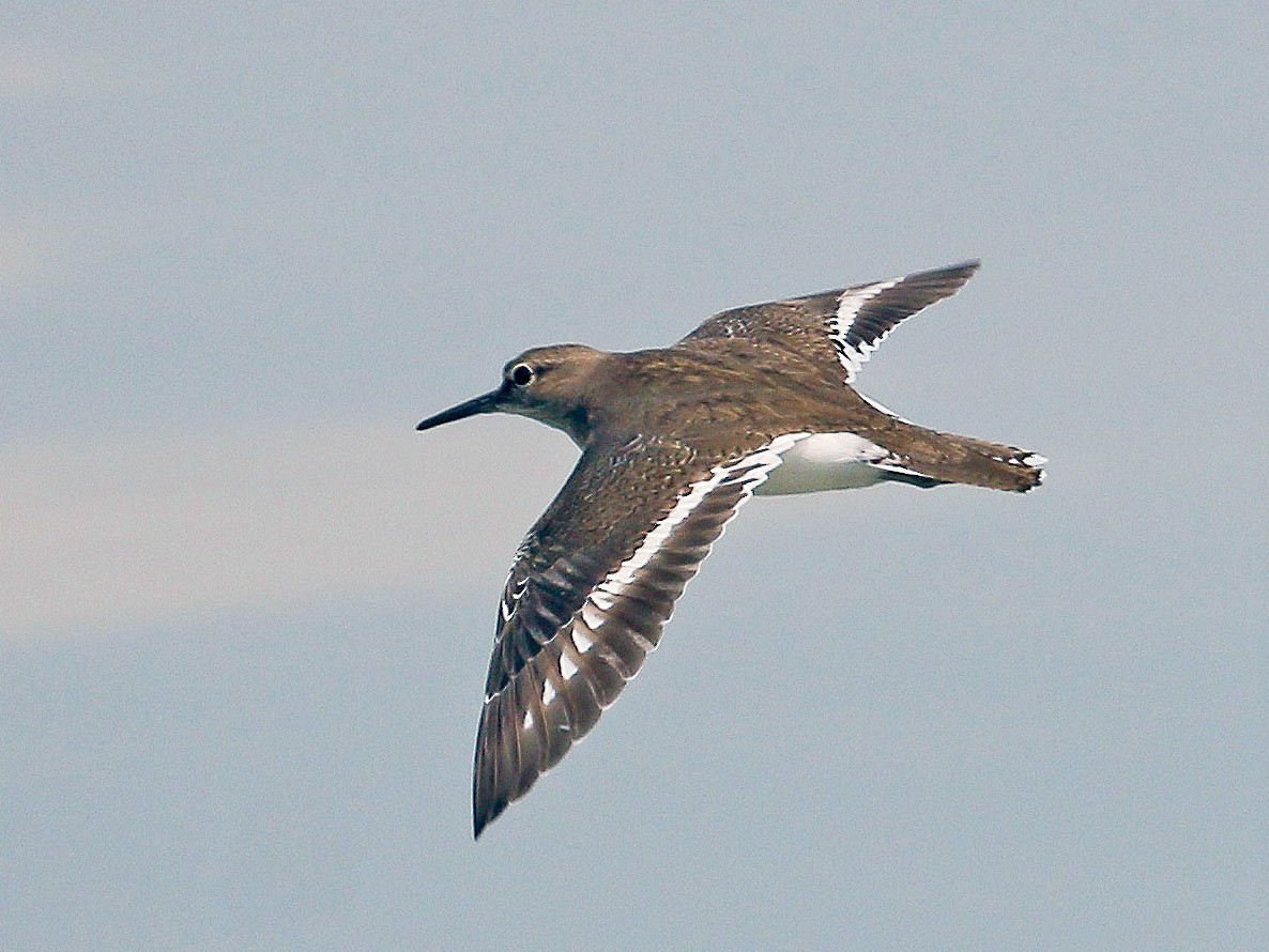 Common Sandpiper - Neoh Hor Kee