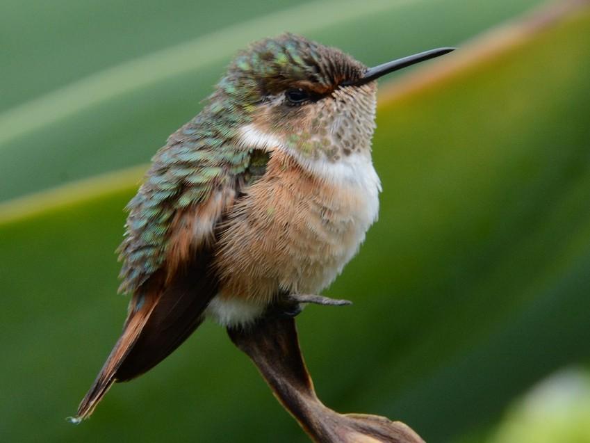 Scintillant Hummingbird - Cory