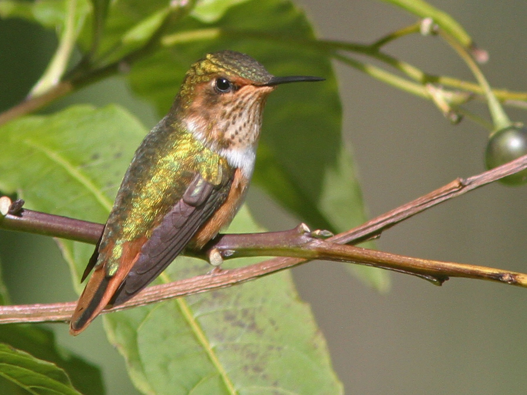 Scintillant Hummingbird - Larry Therrien