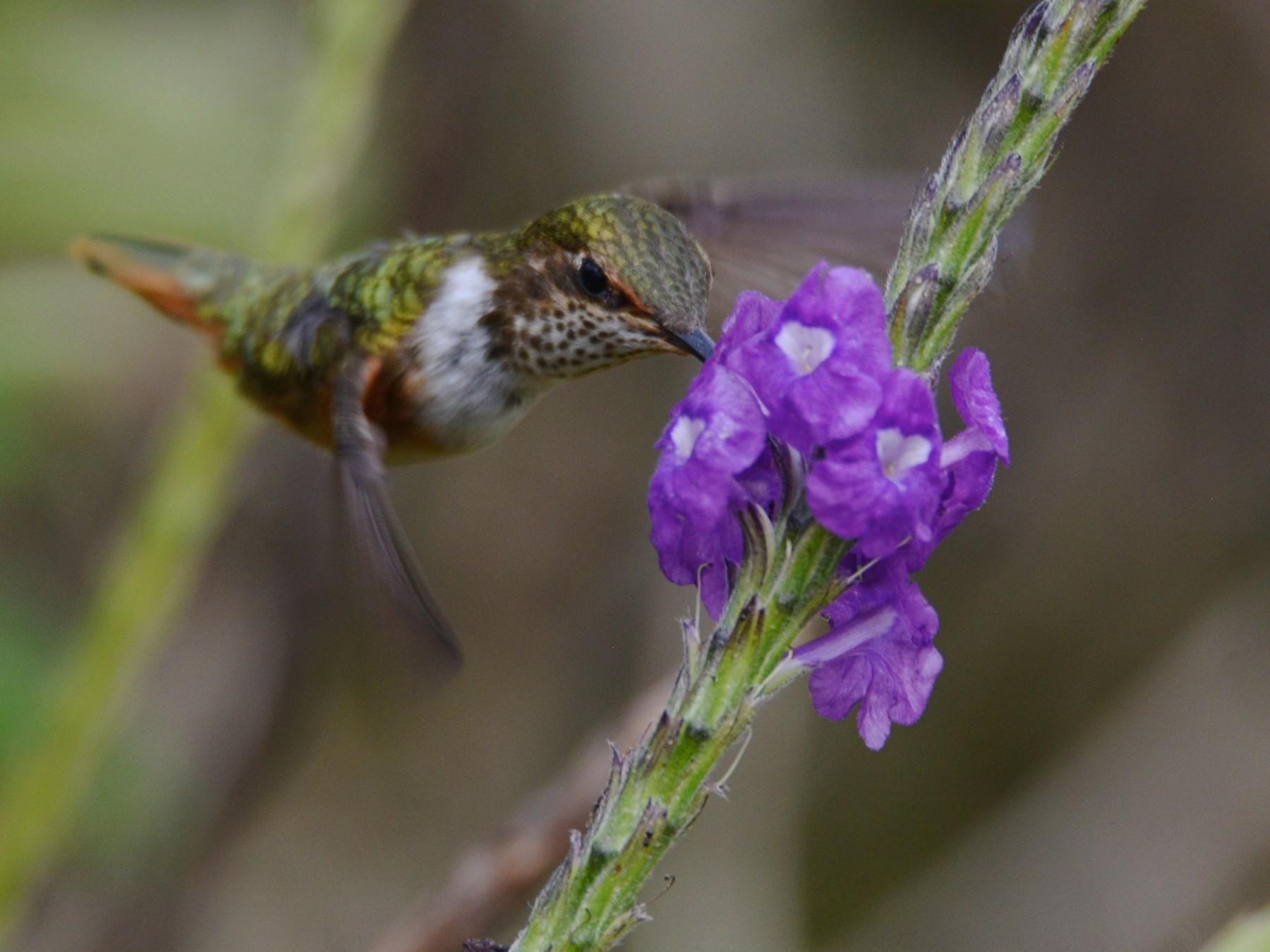 Scintillant Hummingbird - Alan Van Norman
