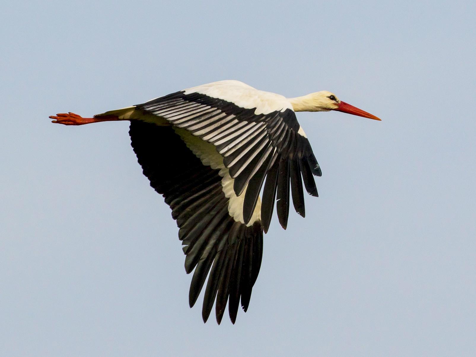 White Stork - John Reynolds