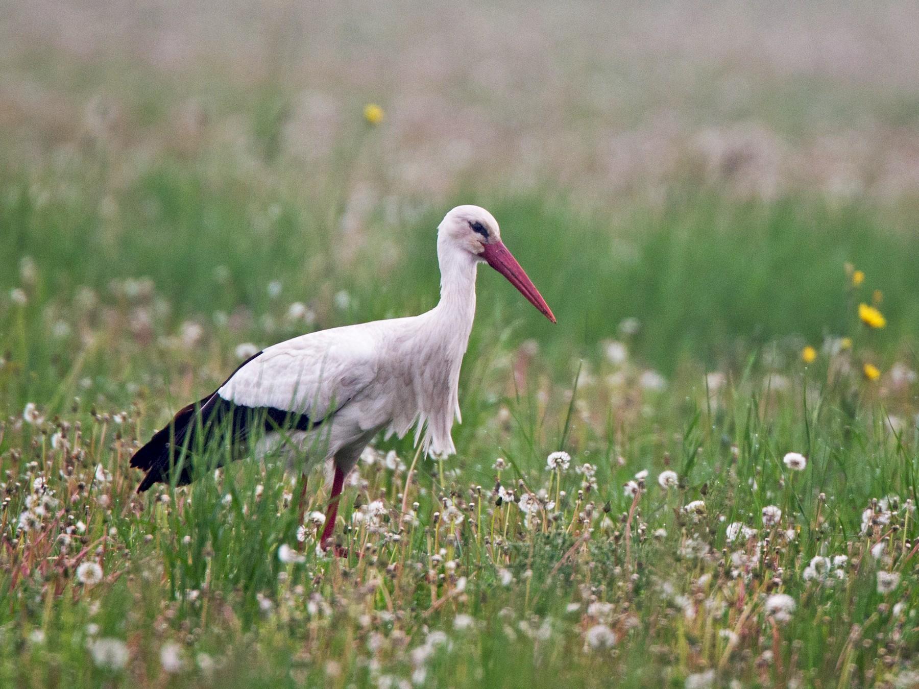 White Stork - Ian Davies