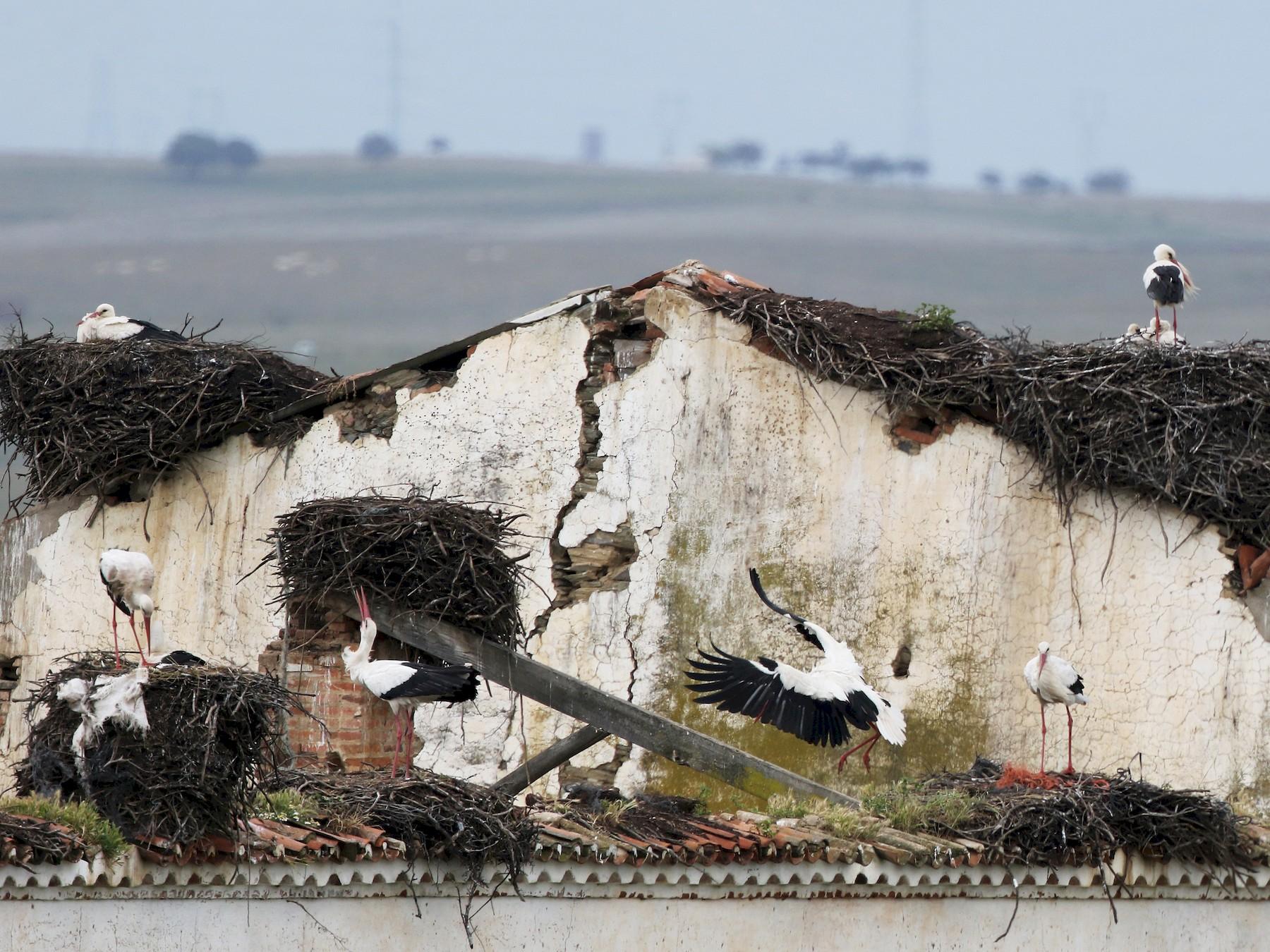 White Stork - Daniel Jauvin