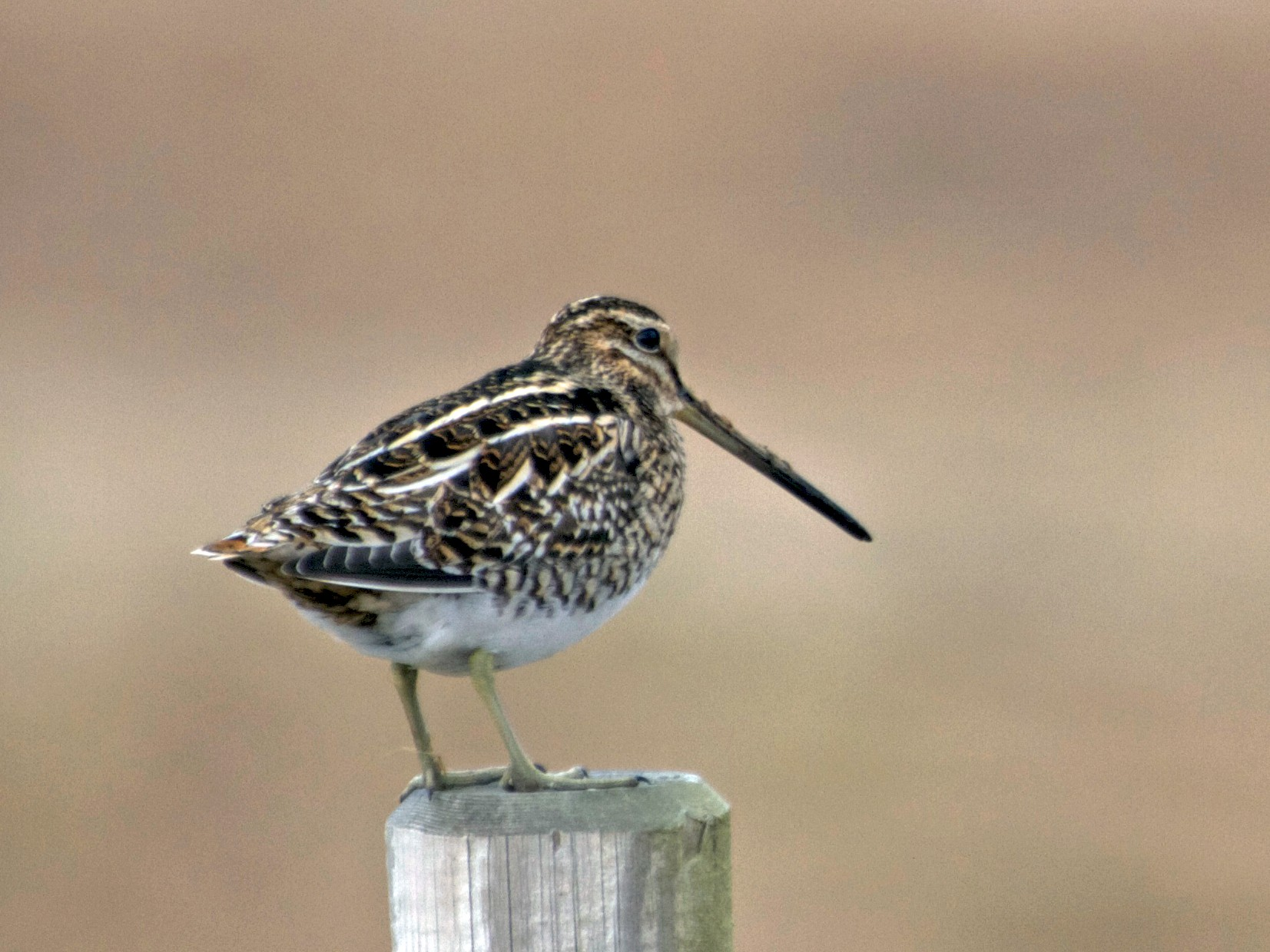 Common Snipe - Will Sweet