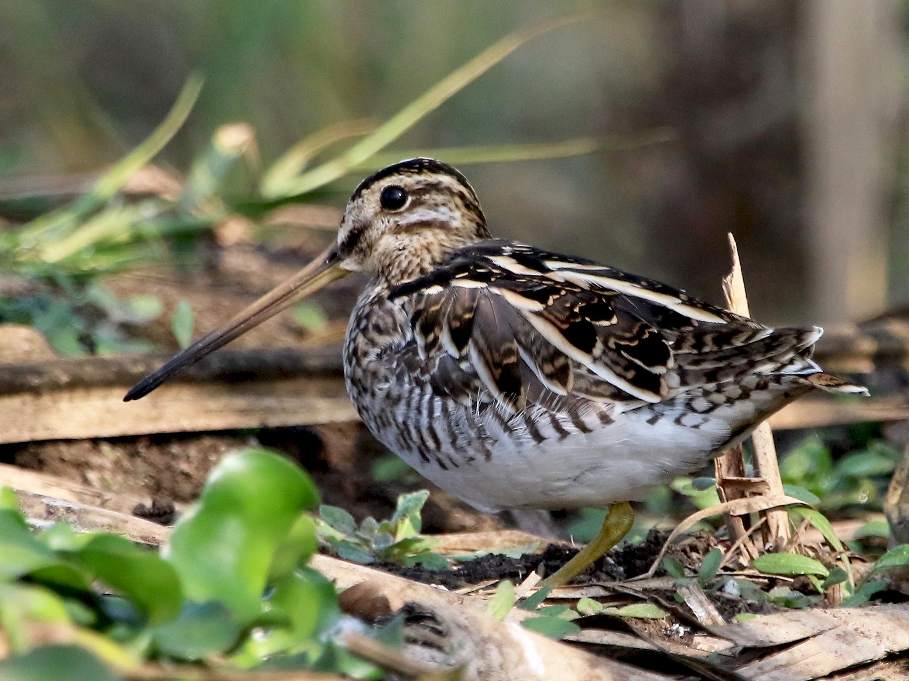 Common Snipe - Sneha Gupta