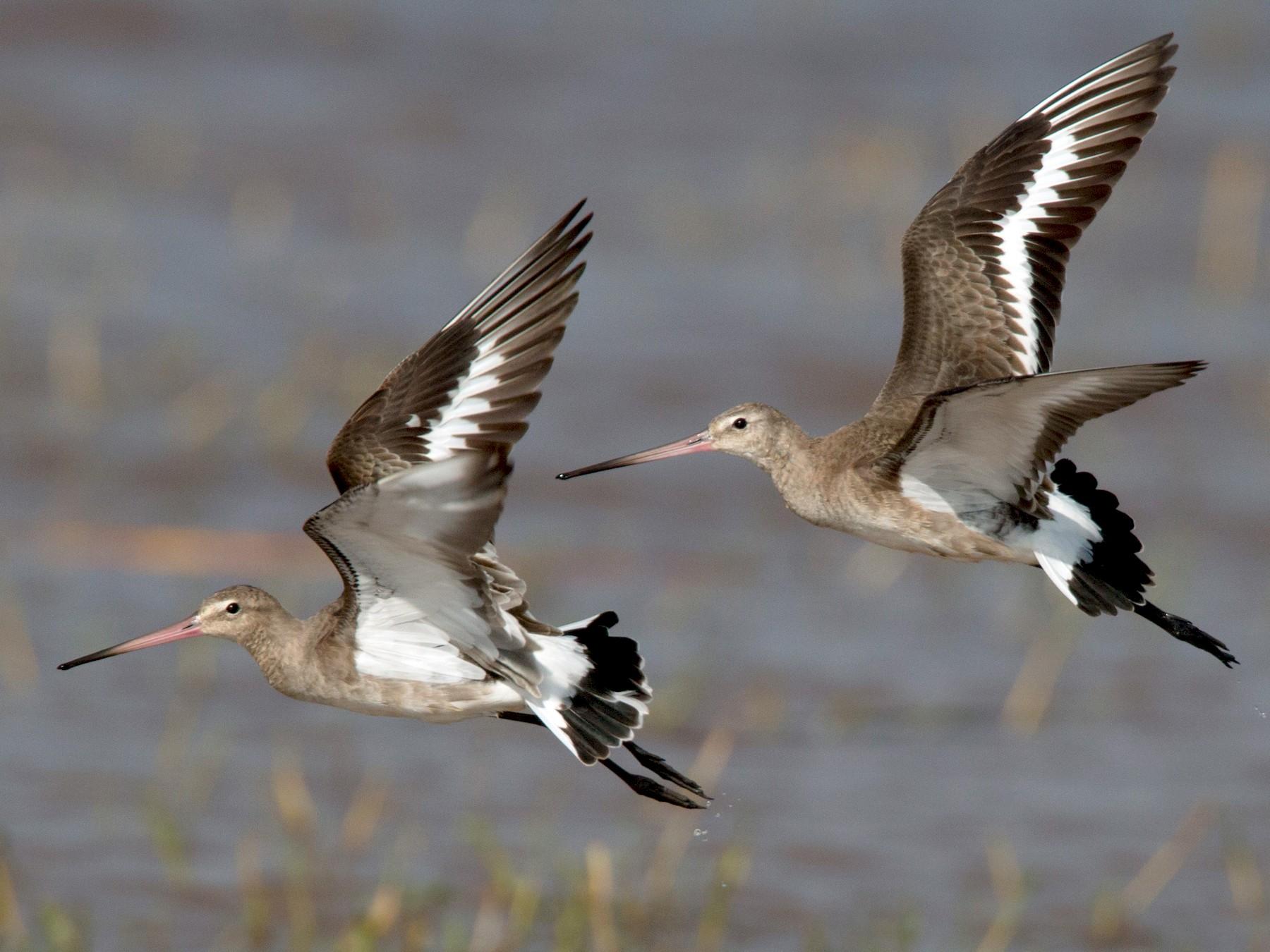 Black-tailed Godwit - Ian Davies
