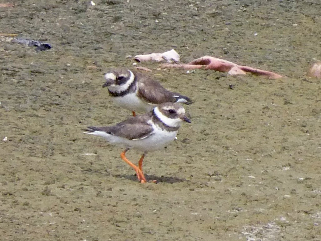 Common Ringed Plover - Peter  LaBelle