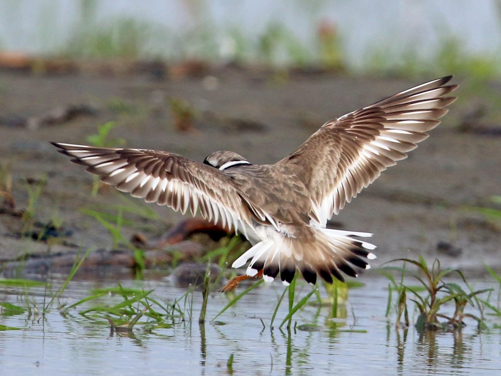 Common Ringed Plover - Daniel Jauvin