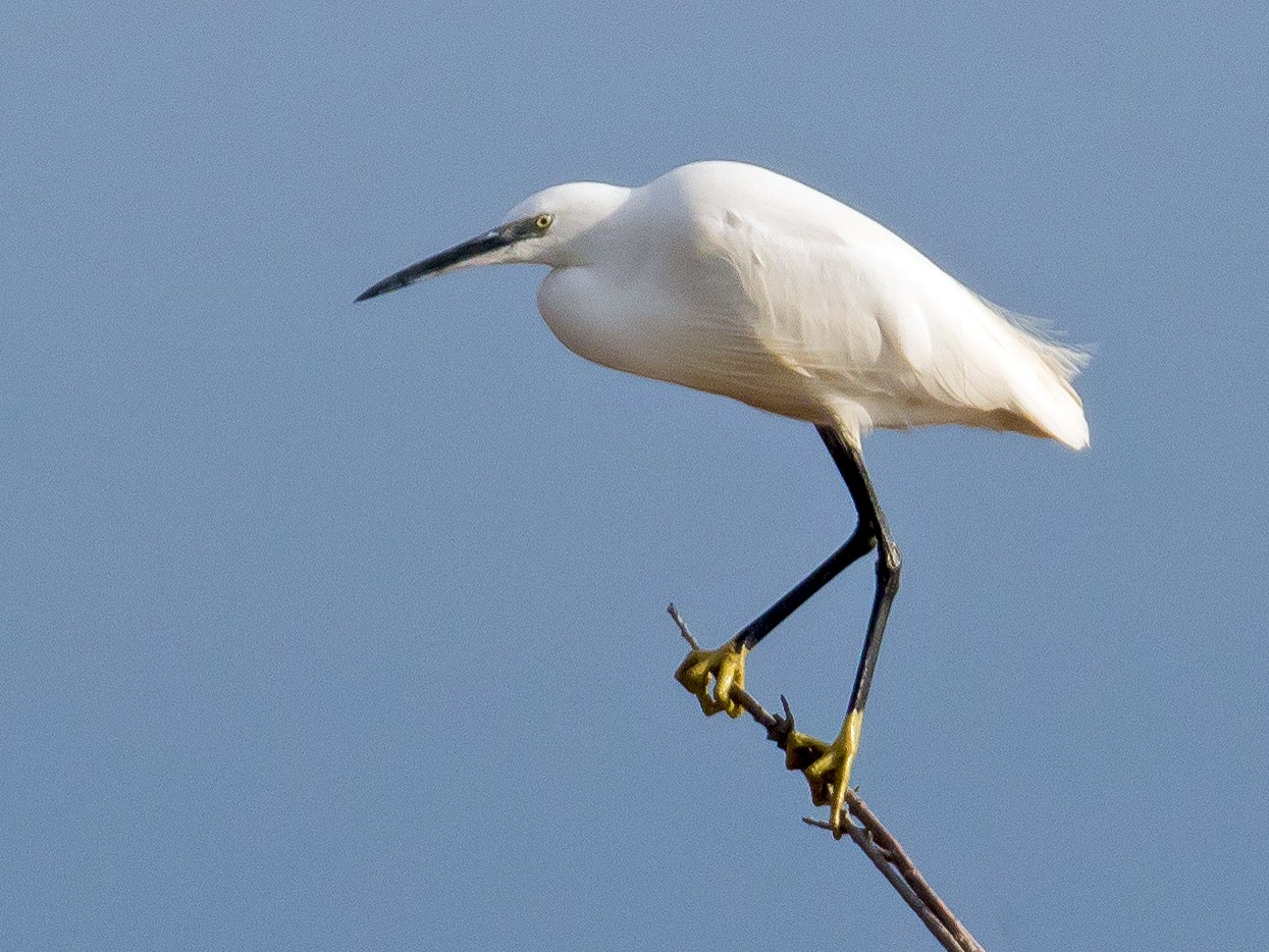 Little Egret - John Reynolds