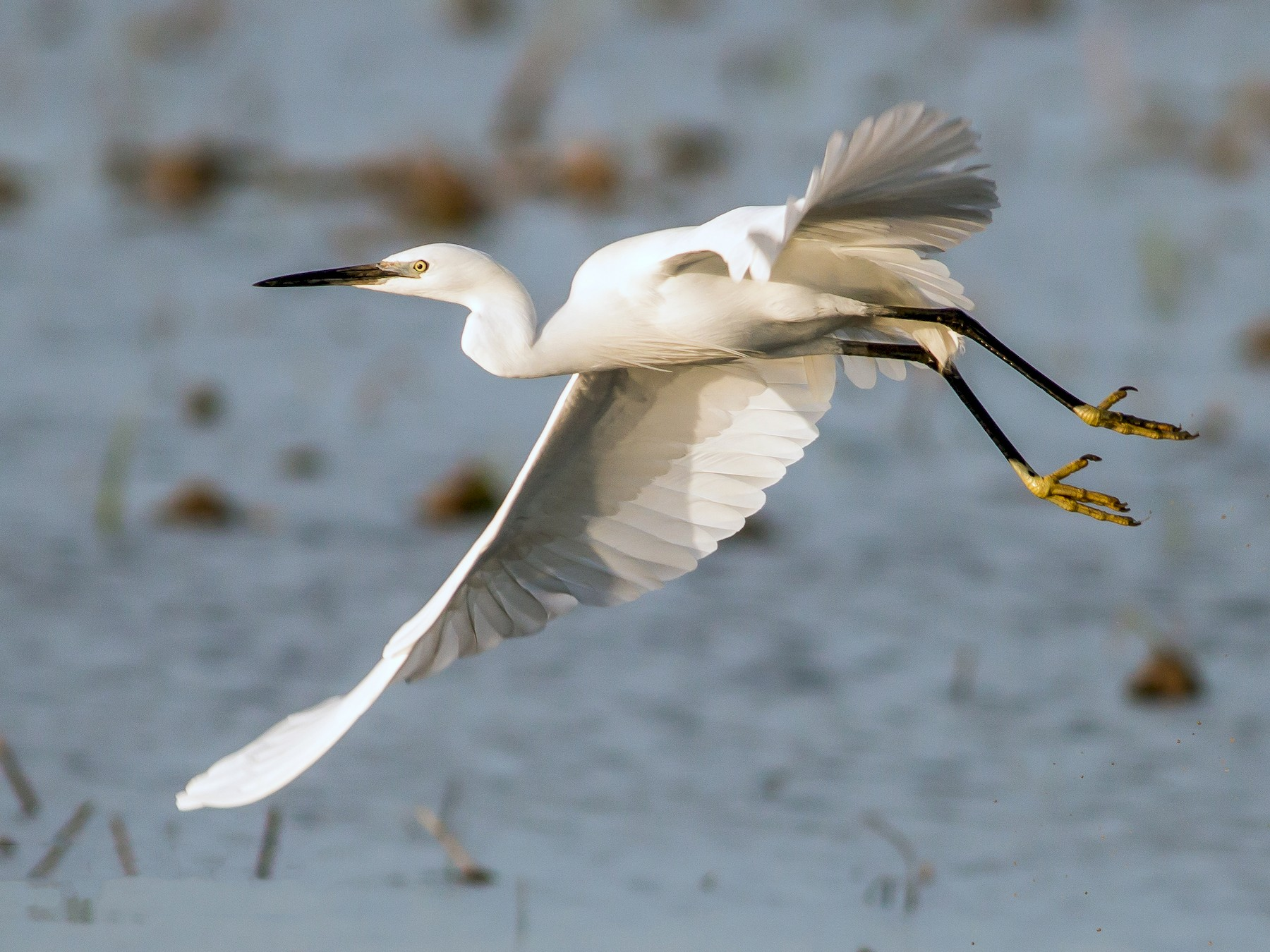 Little Egret - Paulo Doutel