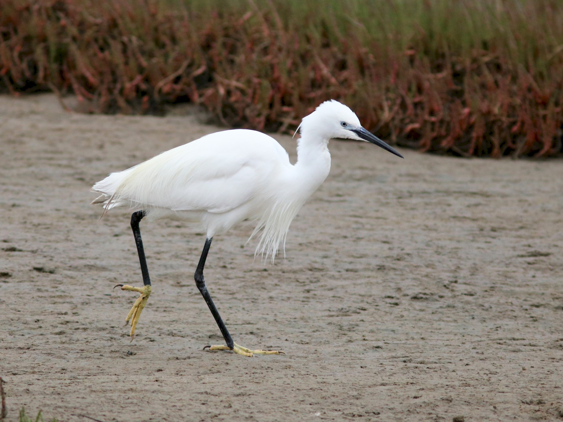 Little Egret - John Drummond