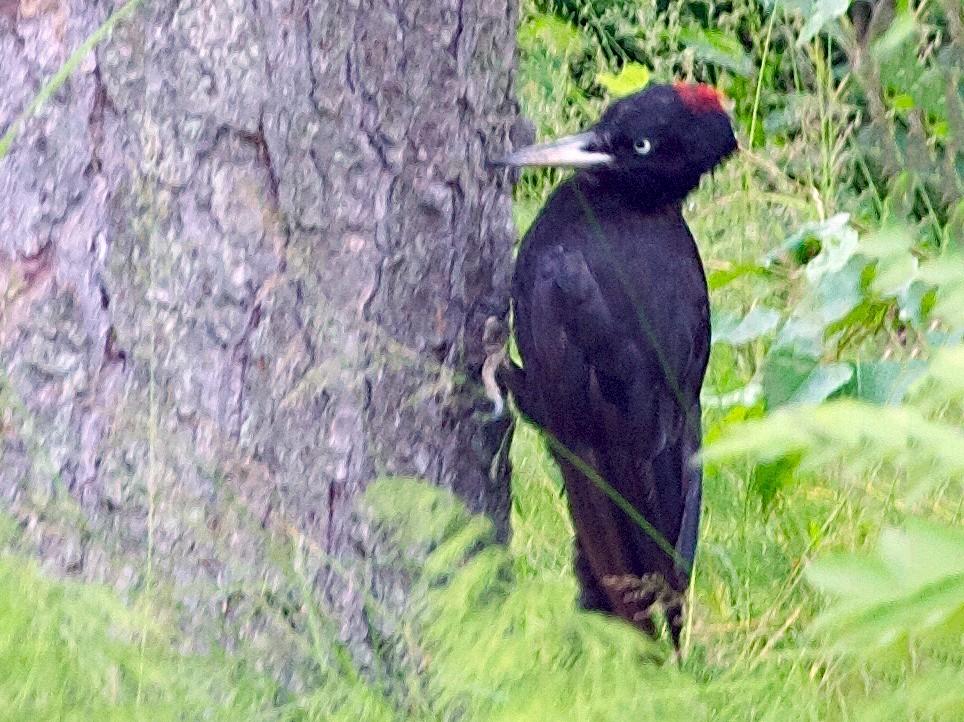 Black Woodpecker - Karl Overman