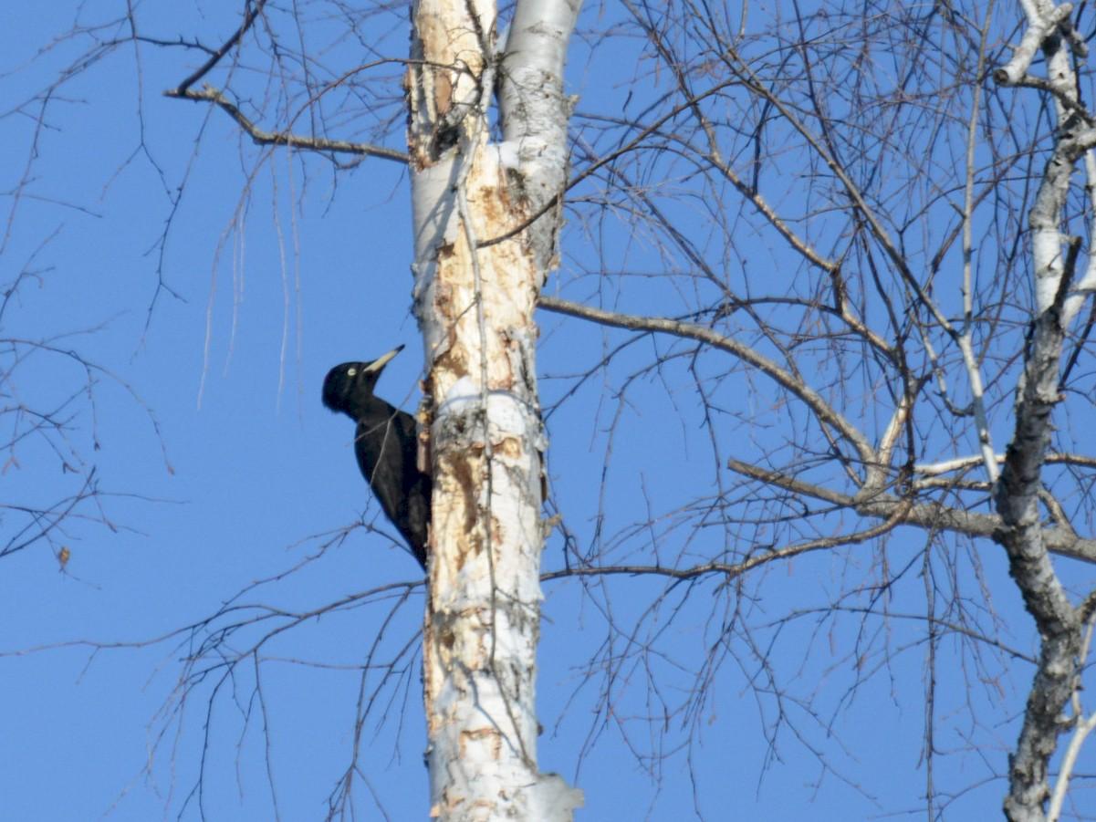 Black Woodpecker - Elena Vladimirova