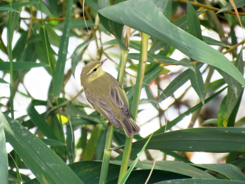 Willow Warbler - Anonymous eBirder