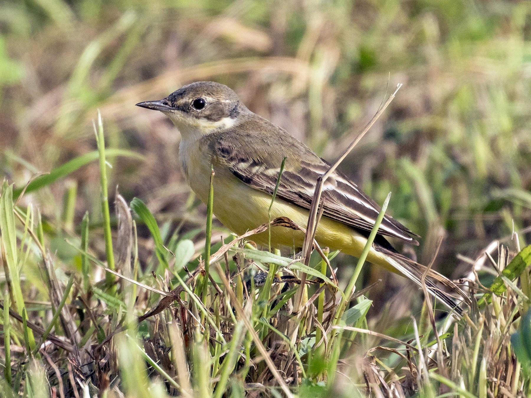Western Yellow Wagtail - Markus Craig