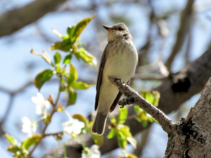 Spotted Flycatcher - Anonymous eBirder