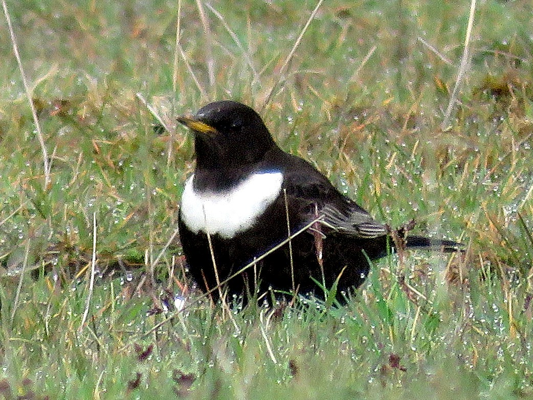 Ring Ouzel - Dave Read