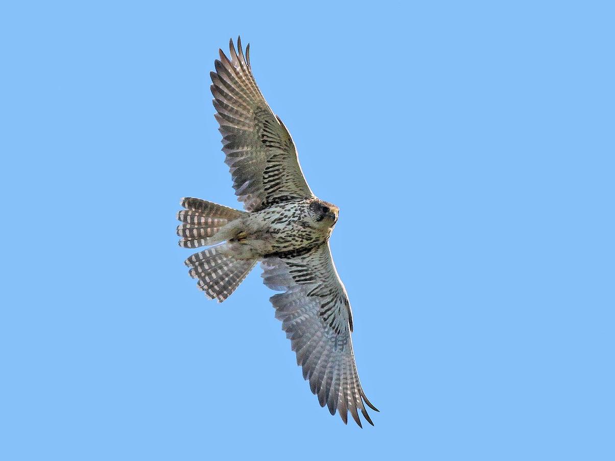 Saker Falcon - Jeremiah Trimble