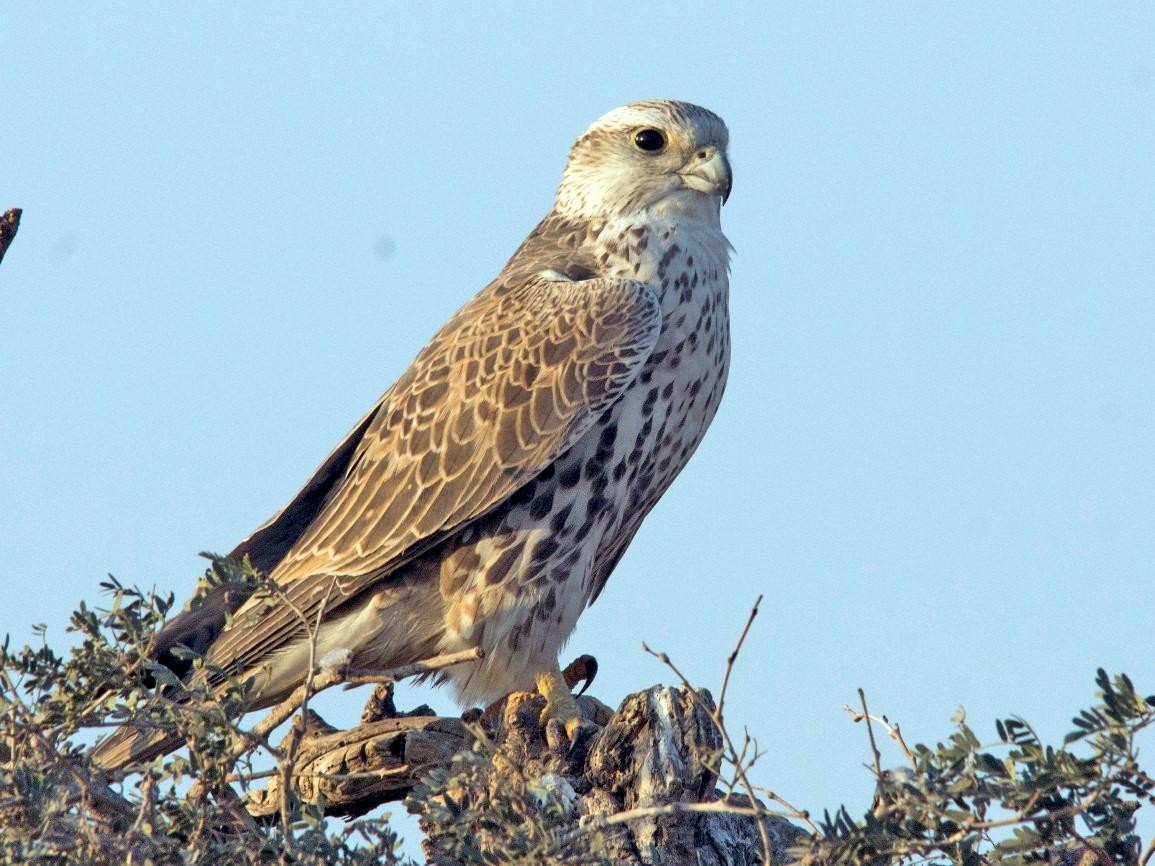 Saker Falcon - Manohara Kamath