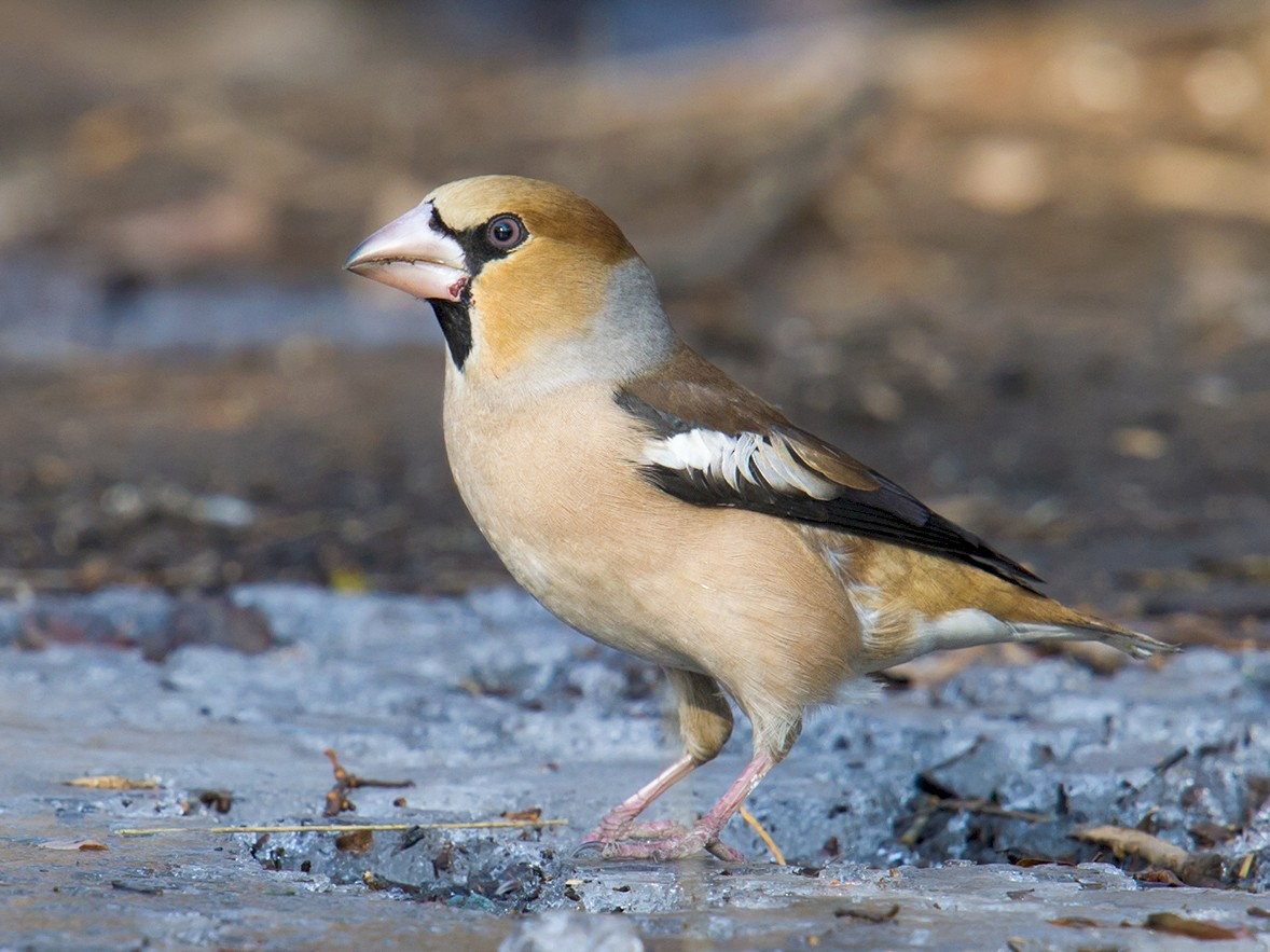Hawfinch - Craig Brelsford
