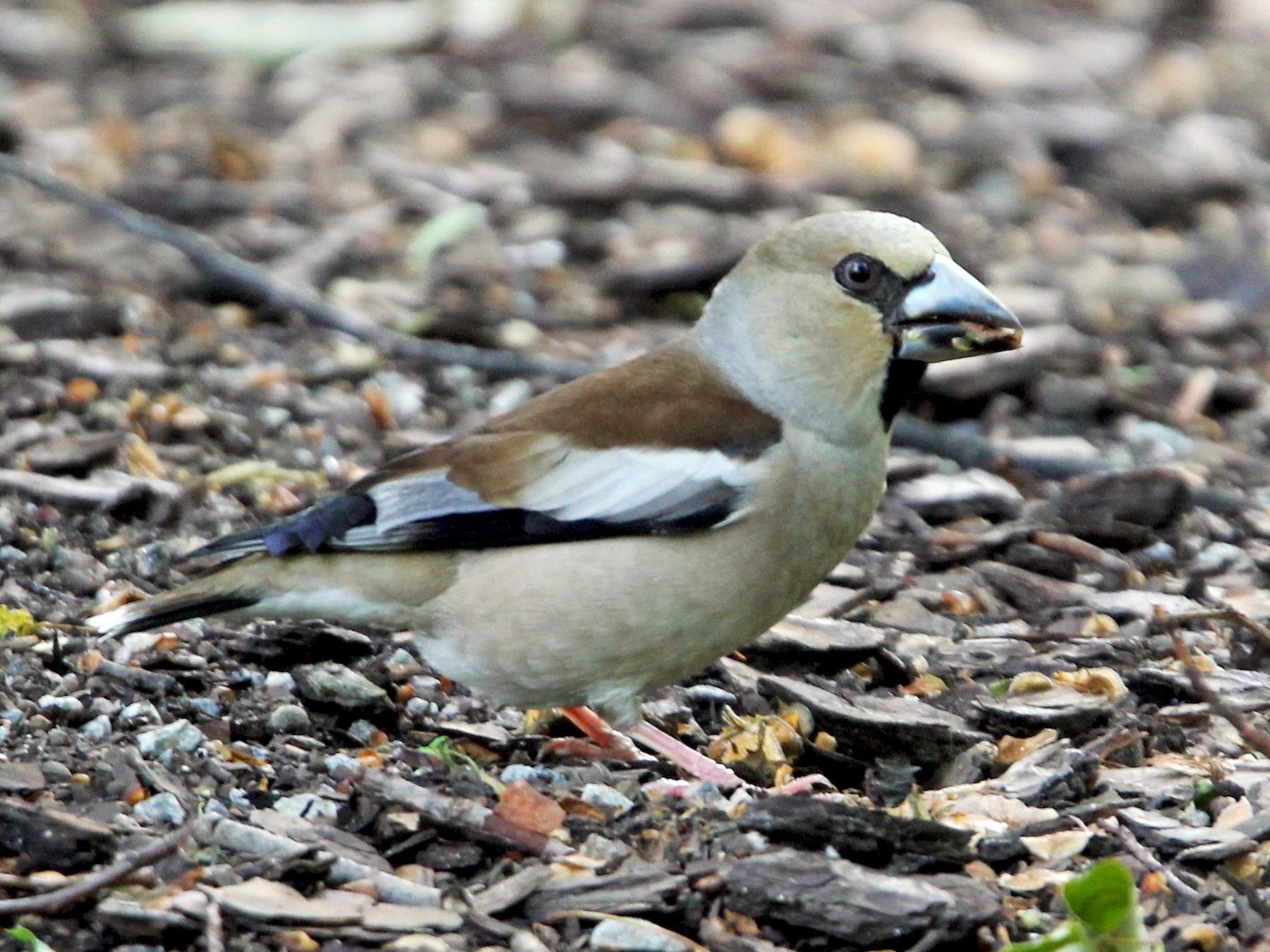 Hawfinch - Robert Gowan