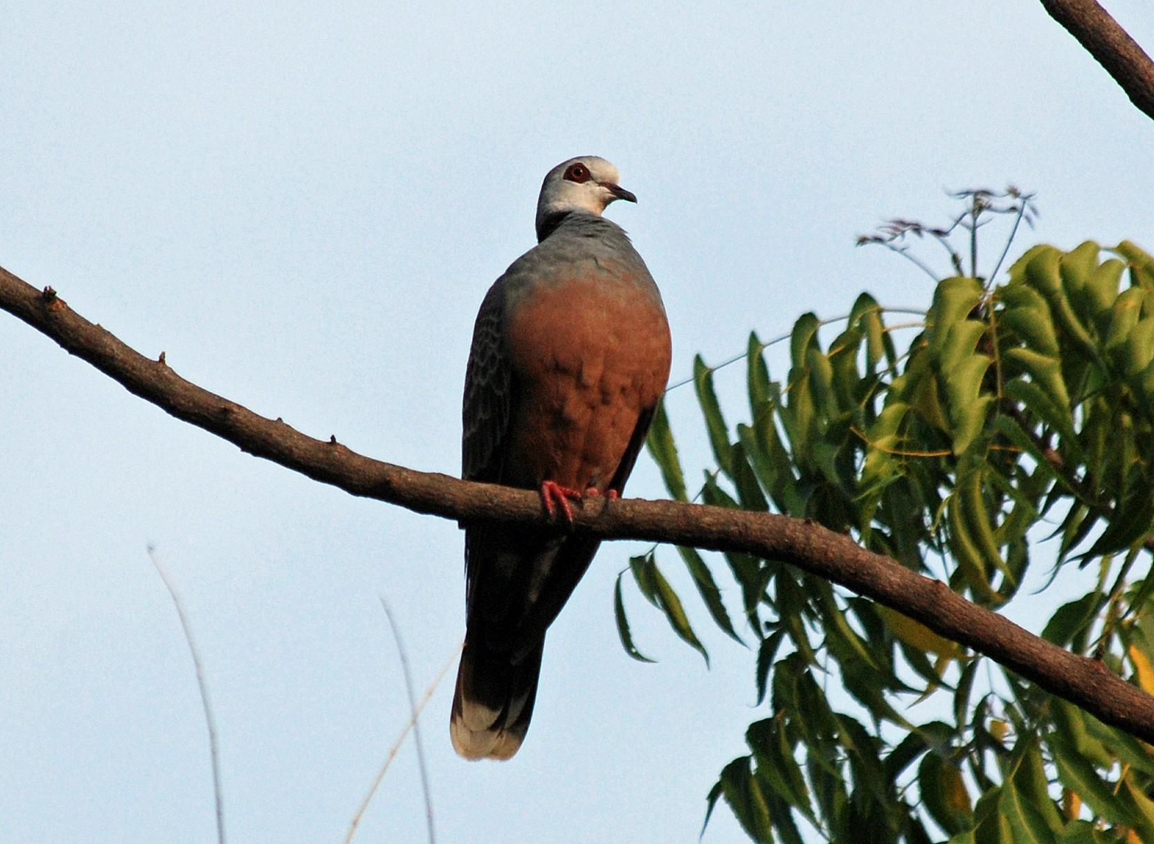 Adamawa Turtle-Dove - Nigel Voaden
