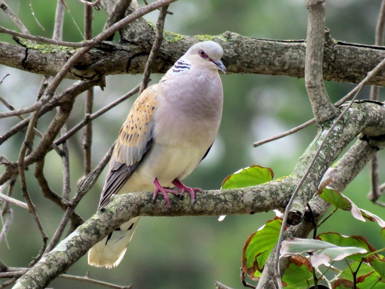 European Turtle-Dove - Pedro Fernandes