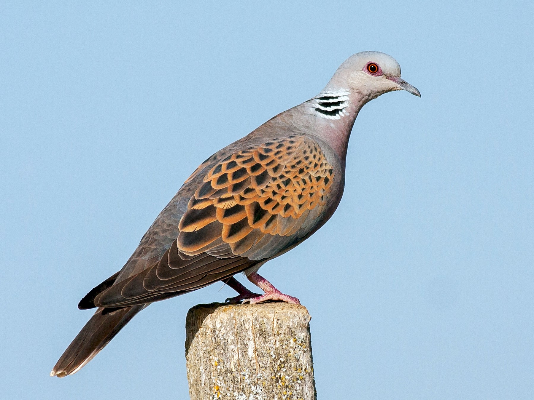 European Turtle-Dove - Vladan Vuckovic