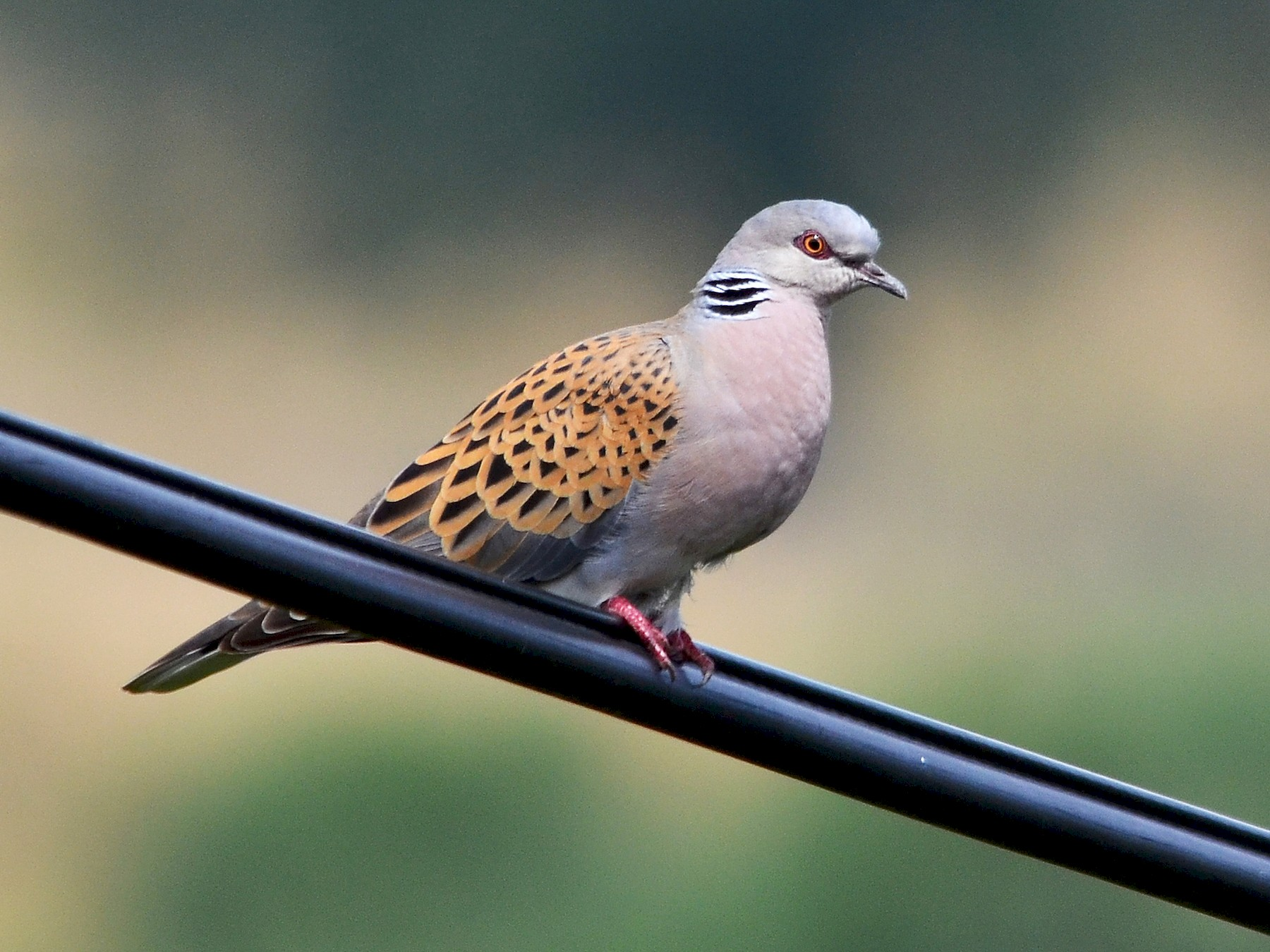 European Turtle-Dove - José Frade